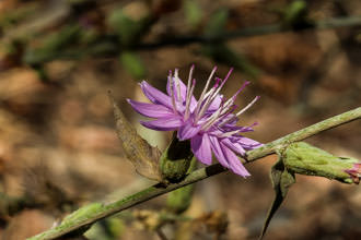 Native Plants of the Santa Monica Mountains