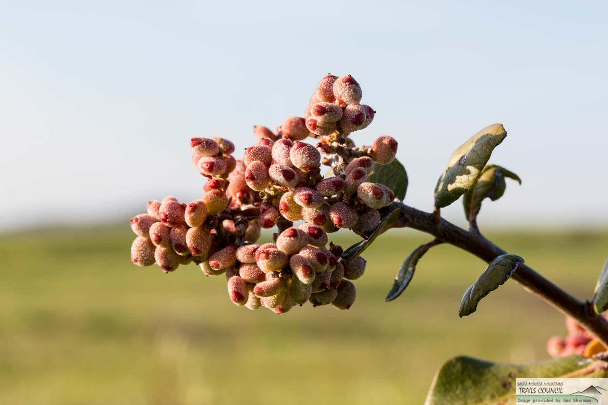 Image of Lemonade Berry - <em>Rhus integrifolia</em>