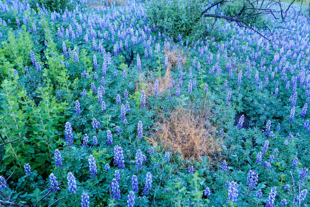 Image of Lupine - <em>Lupinus Species</em>