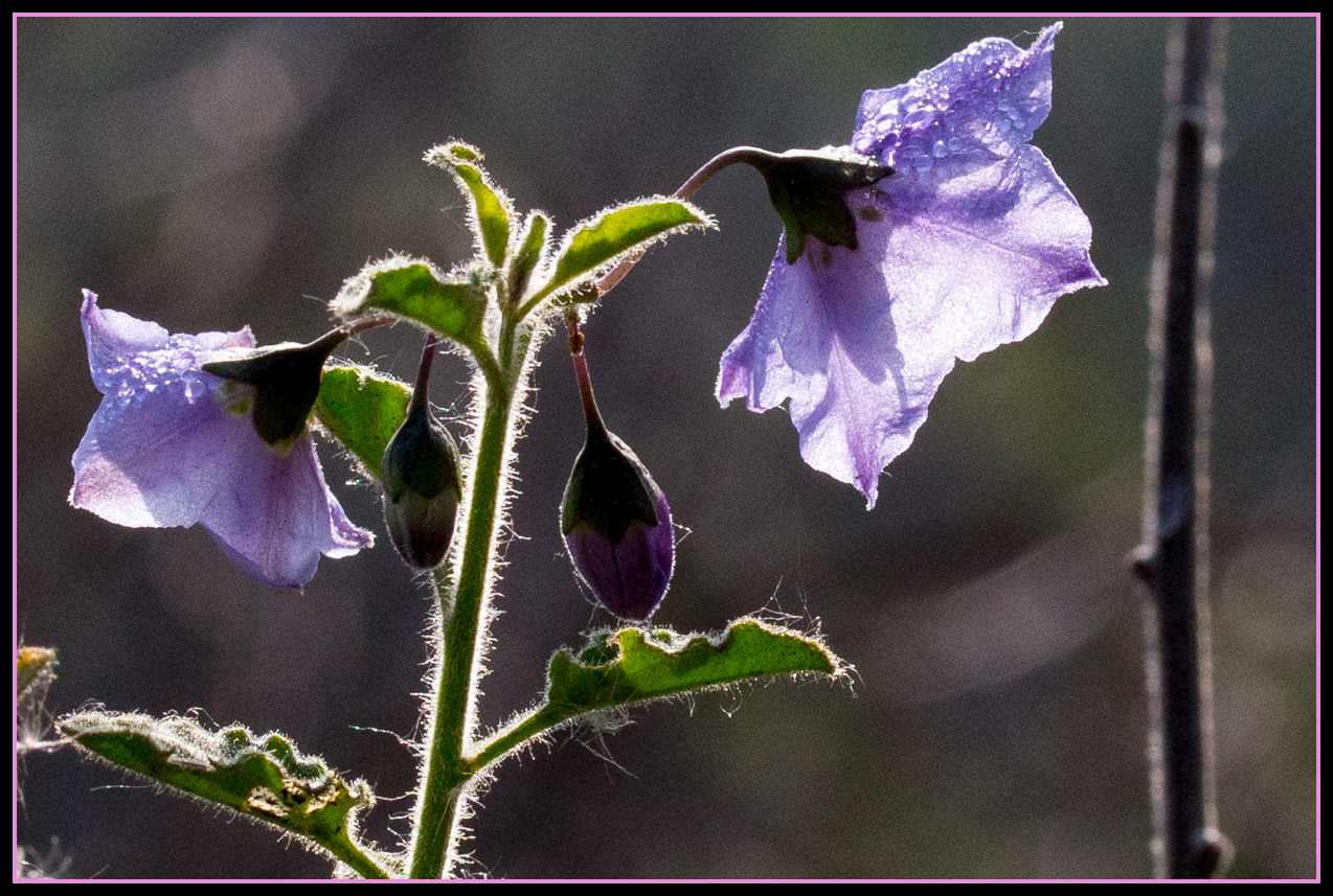 Image of Purple Nightshade - <em>Solanum xanti</em>