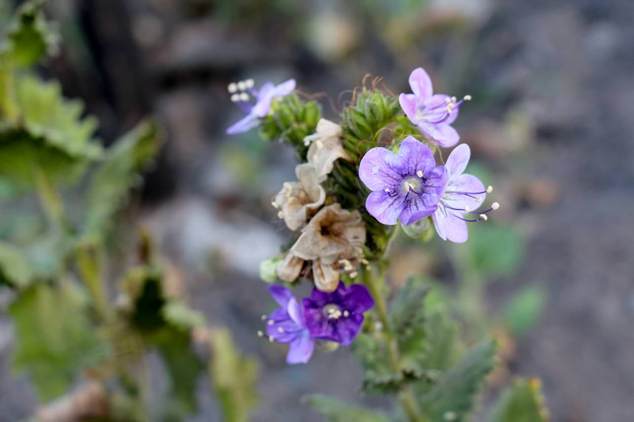 Image of Large-Flowered Phacelia - <em>Phacelia grandiflora</em>