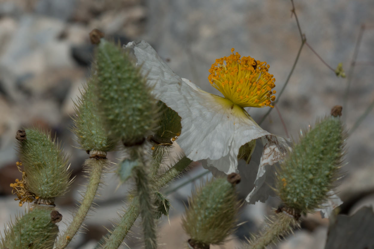 Image of Prickly Poppy - <em>Argemone munita</em>