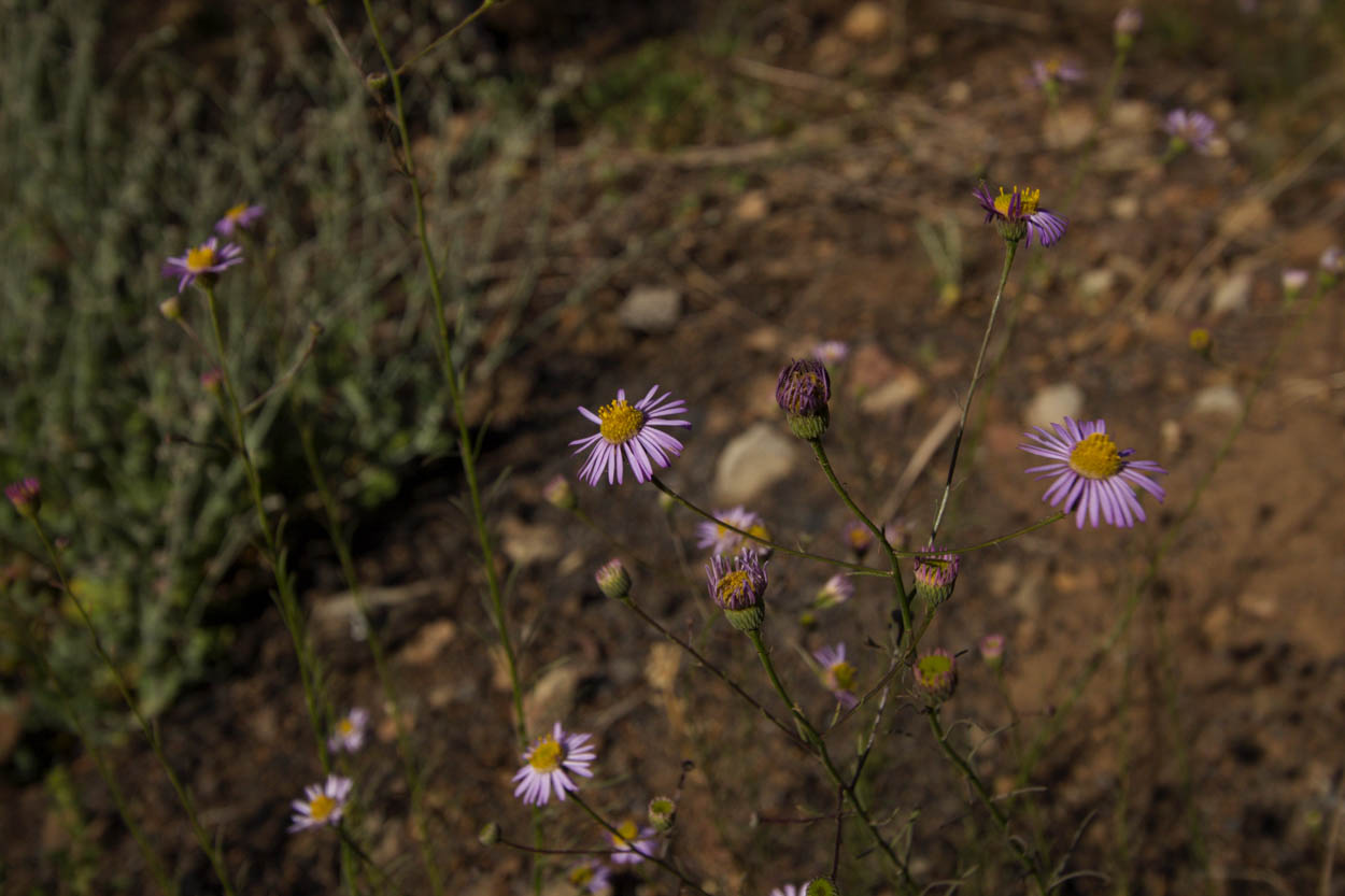 Image of California Aster - <em>Corethrogyne filaginifolia</em>