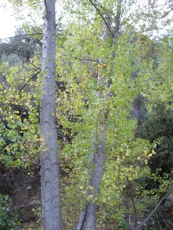 Image of Cottonwood - <em>Populus fremontii</em>