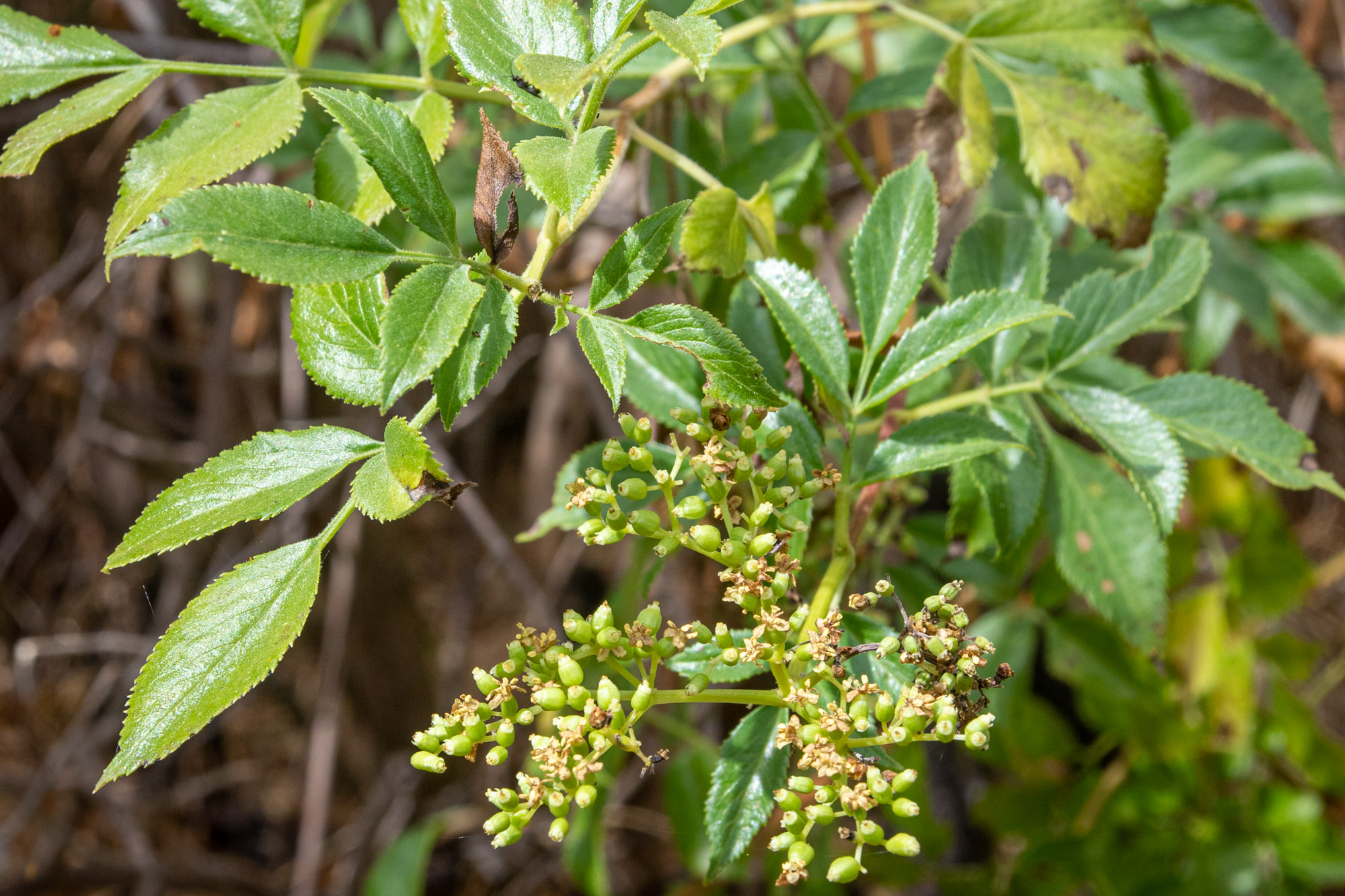 Image of Elderberry - <em>Sambucus mexicana</em>