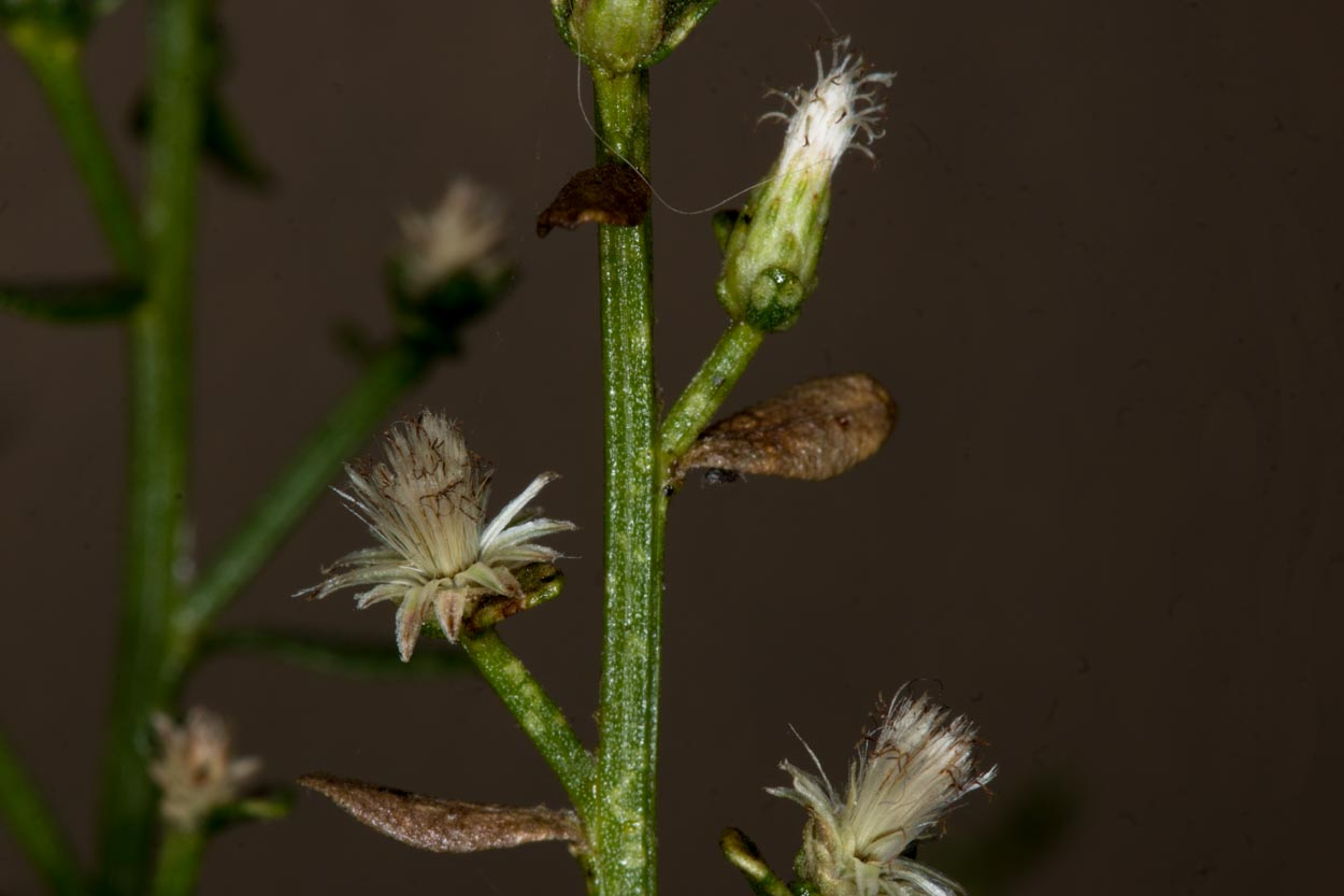 Image of Coyote Brush - <em>Baccharis pilularis</em>