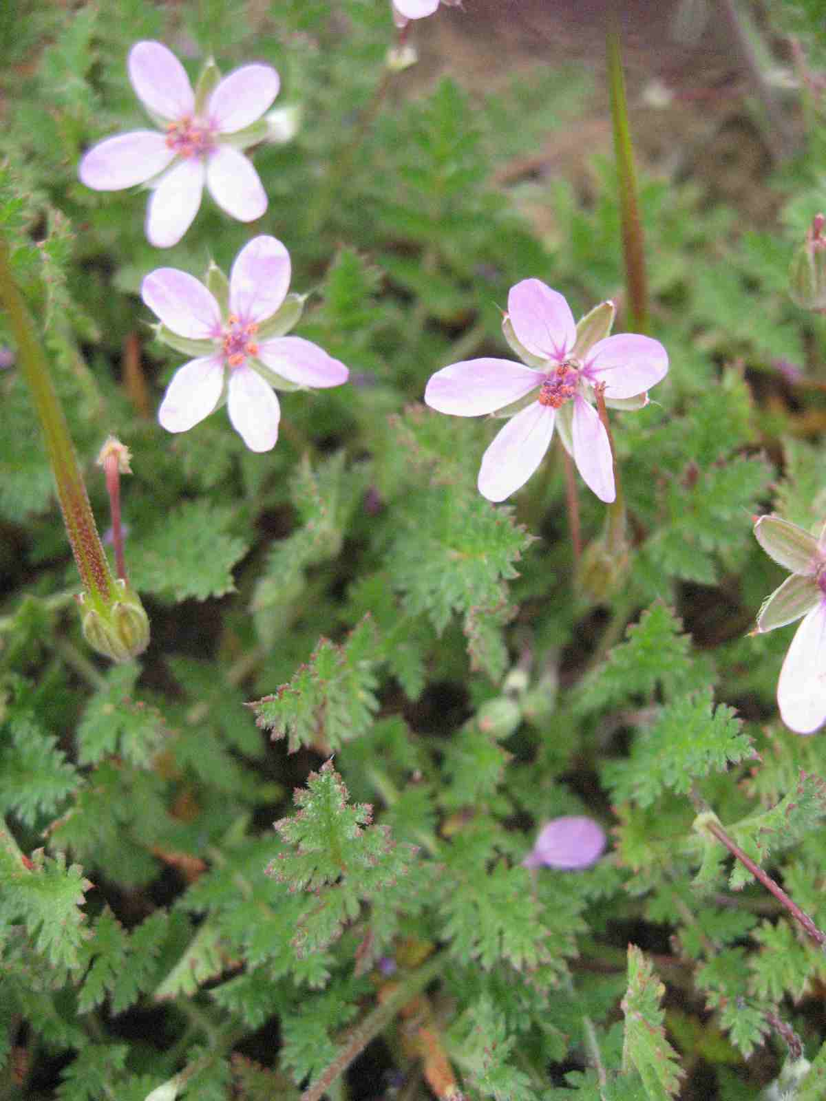 Image of Red-Stem Filaree - <em>Erodium cicutarium</em>