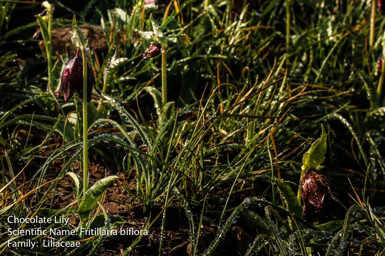 Image of Chocolate Lily - <em>Fritillaria biflora</em>