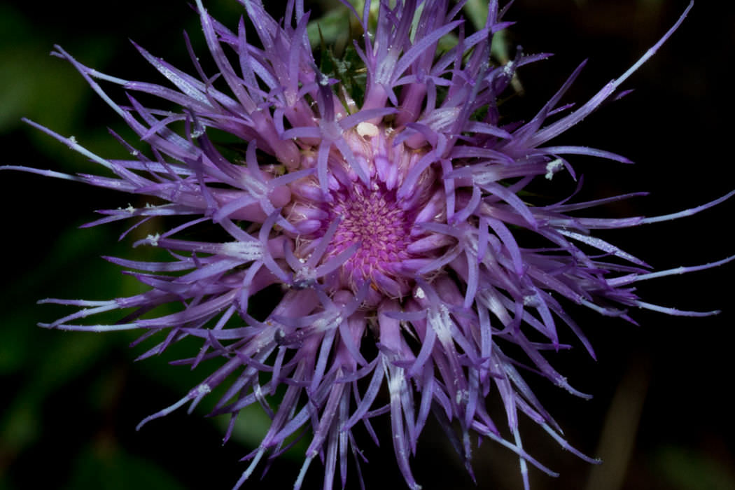 Image of California Thistle - <em>Cirsium occidentale var. californ</em>