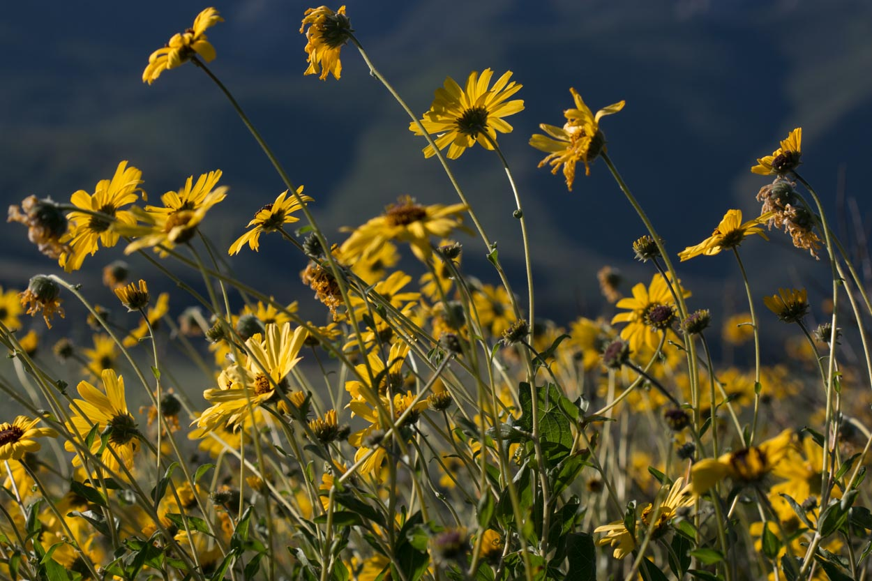 Image of Bush Sunflower - <em>Encelia californica</em>