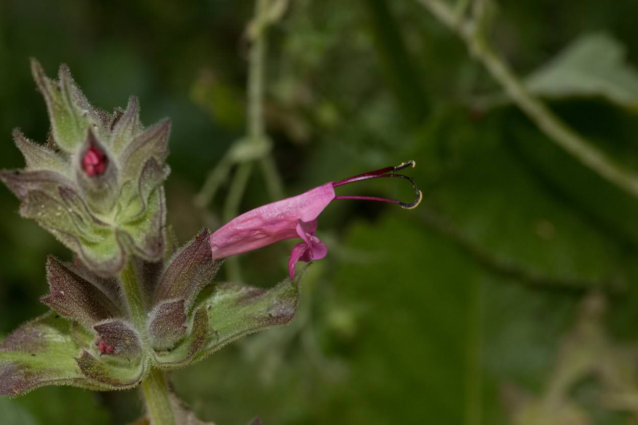 Image of Crimson Pitcher Sage - <em>Salvia spathacea</em>