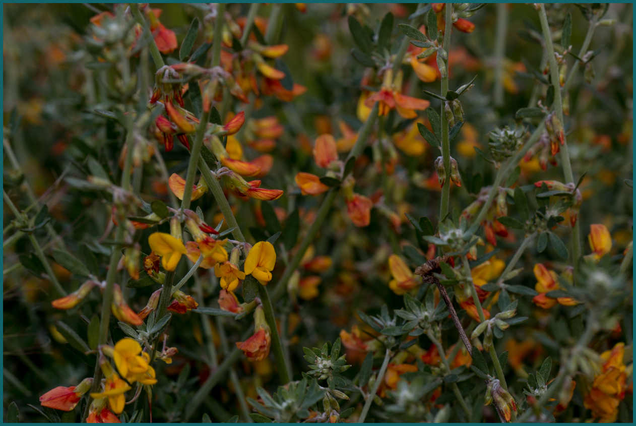 Image of Deerweed - <em>Acmispon glaber</em>