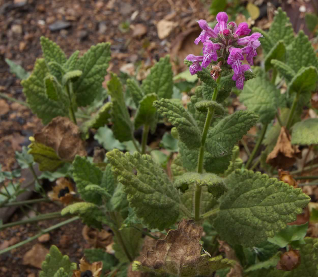 Image of Hedge Nettle - <em>Stachys bullata</em>