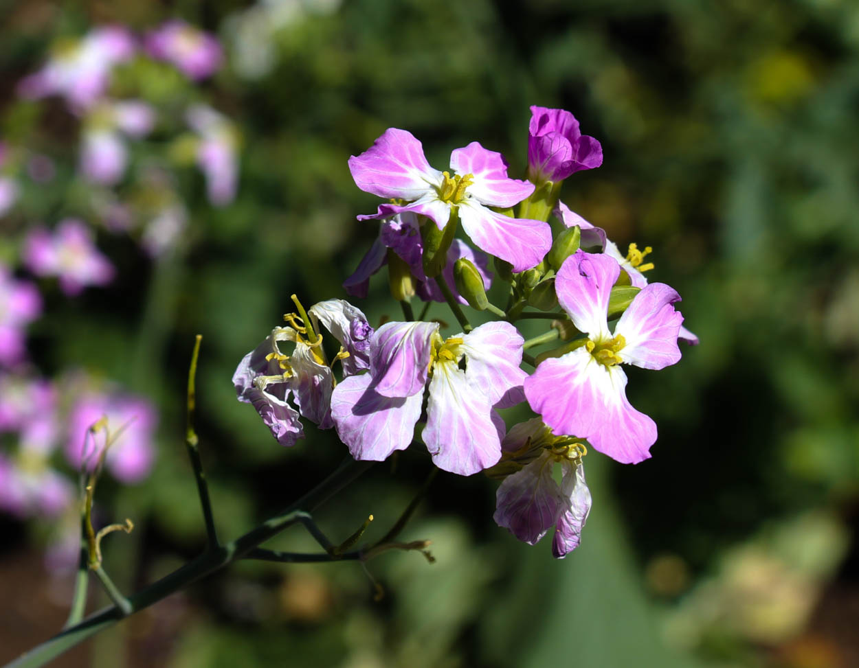 Image of Wild radish - <em>Raphanus sativus</em>