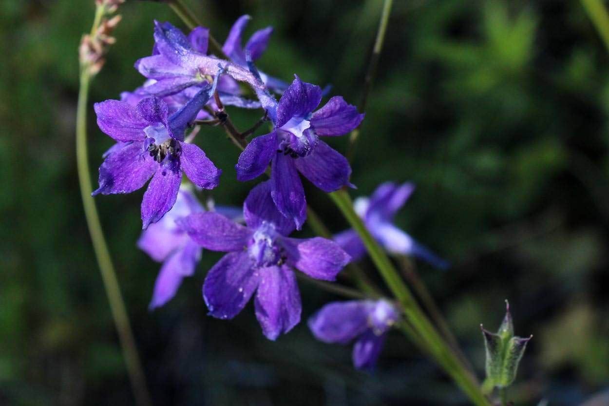 Plant of the month blue larkspur image of blue larkspur emdelphinium parryi delphinium patensem izmirmasajfo Choice Image