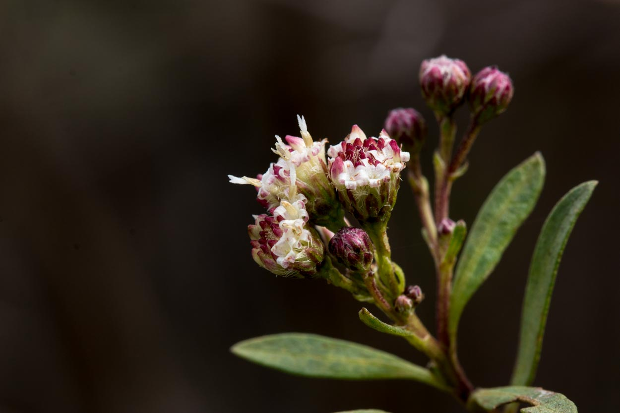 Image of Mule Fat - <em>Baccharis salicifolia</em>