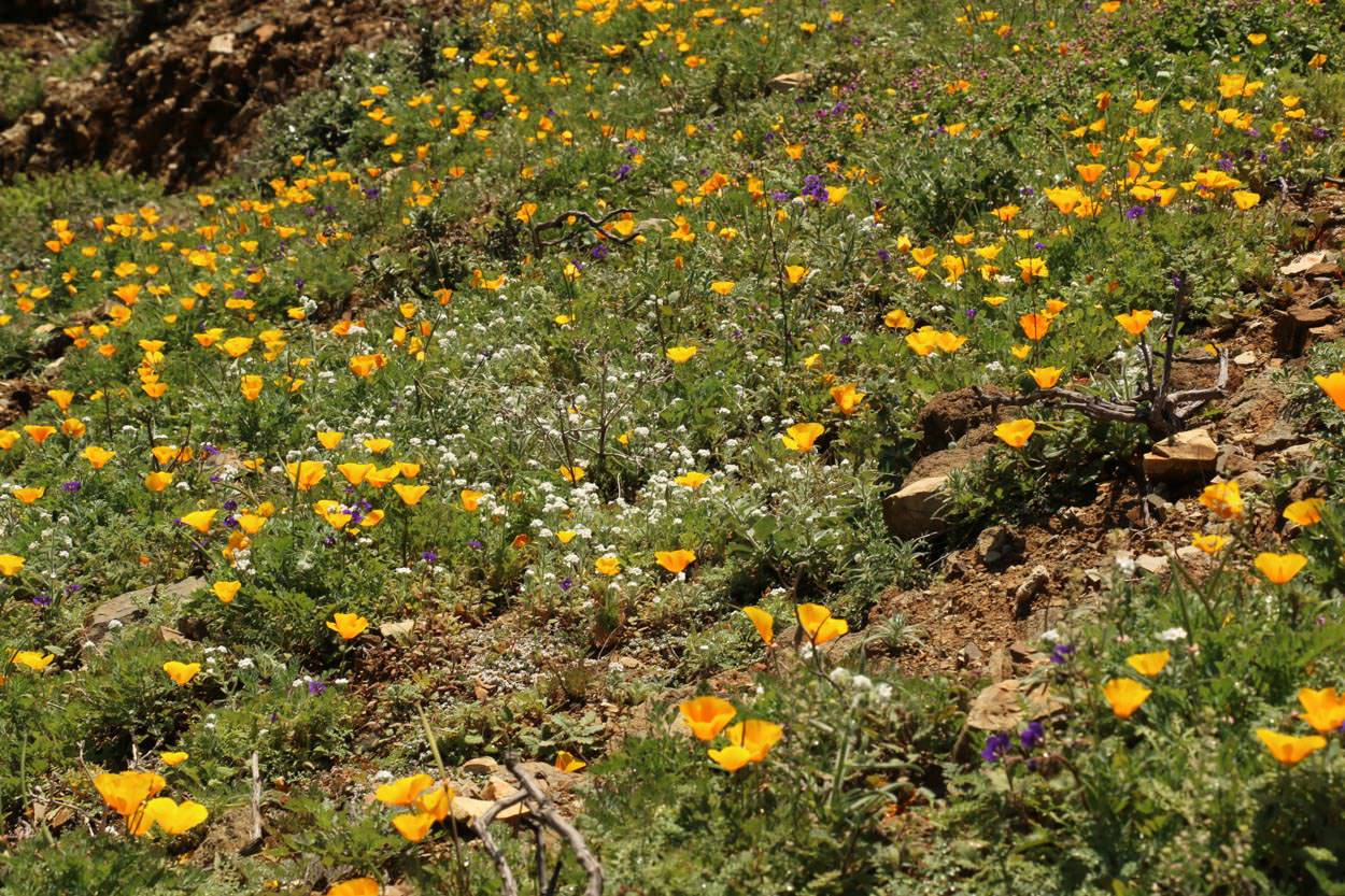 Image of California Poppy - <em>Eschscholzia californica</em>