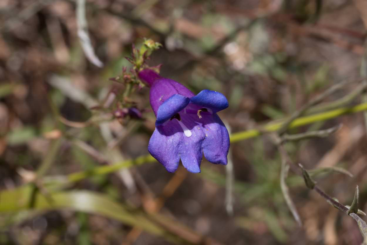 Image of Foothill Penstemon - <em>Penstemon heterophyllus</em>