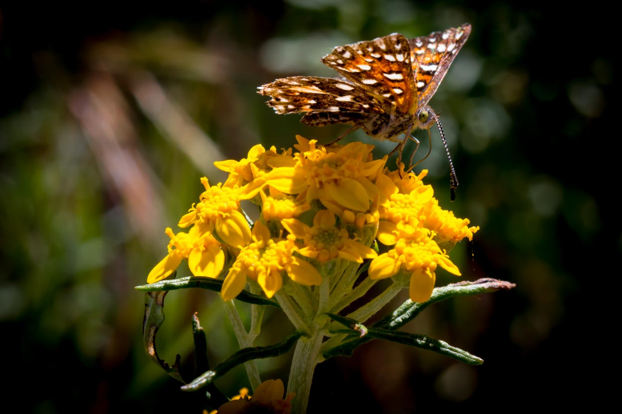 Image of Golden Yarrow - <em>Eriophyllum confertiflorum</em>
