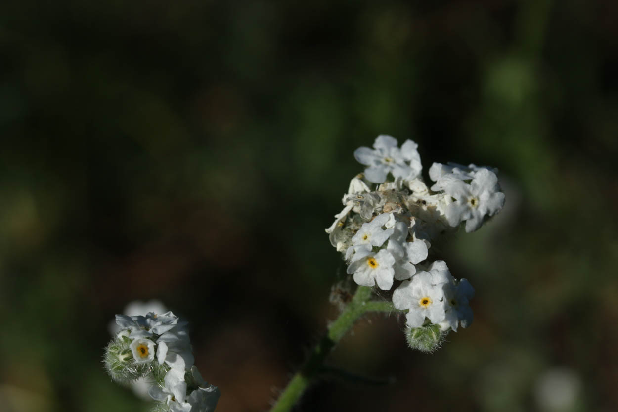 Image of Prickly Popcorn Flower - <em>Cryptantha muricata</em>