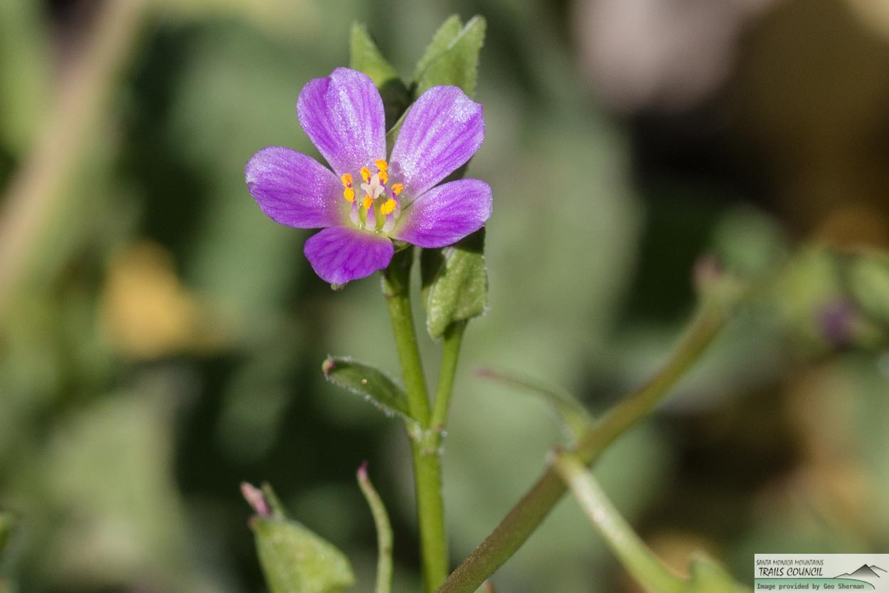Image of Red Maids - <em>Calandrinia menziesii</em>