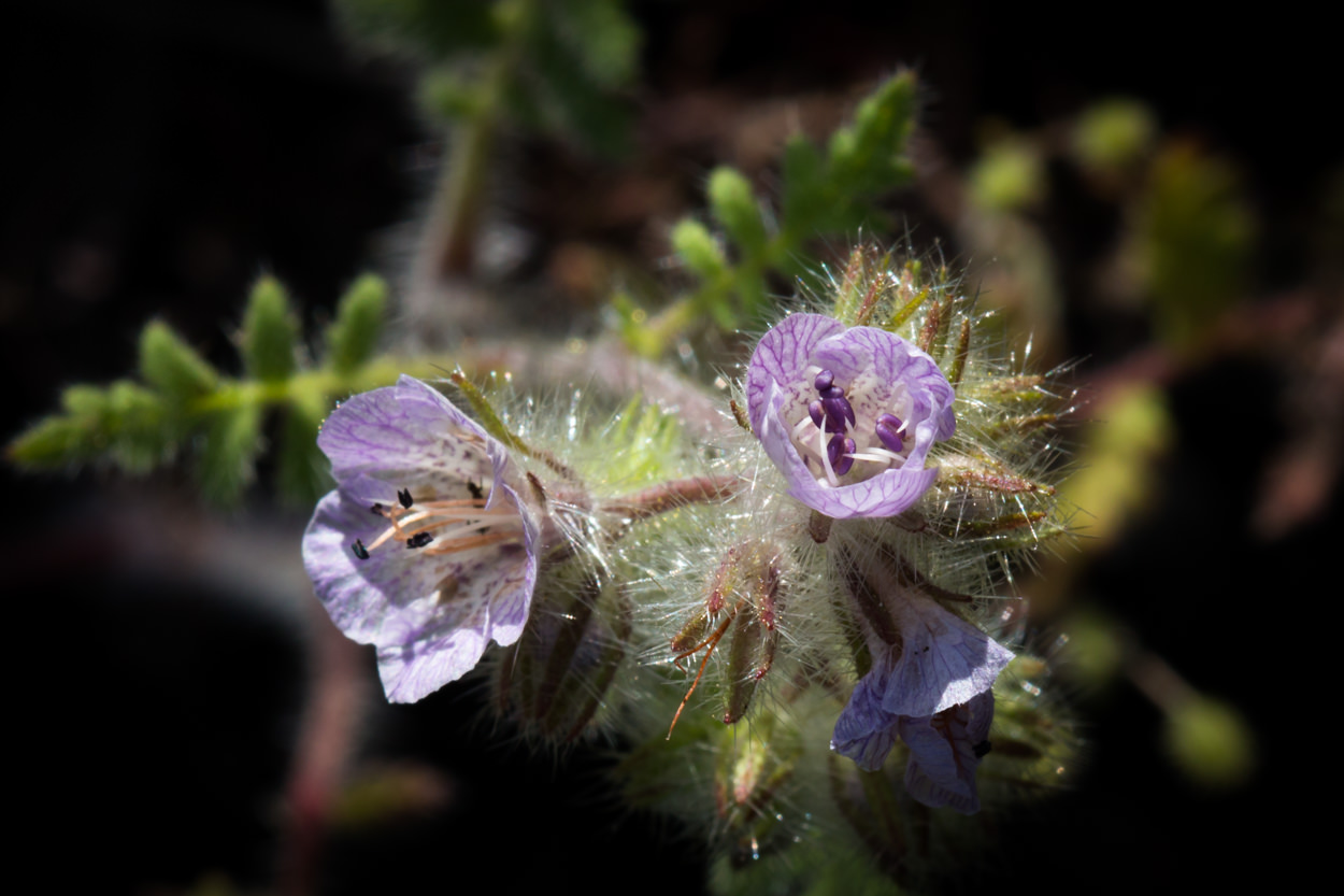 Image of Fern-Leaf Phacelia - <em>Phacelia distans</em>