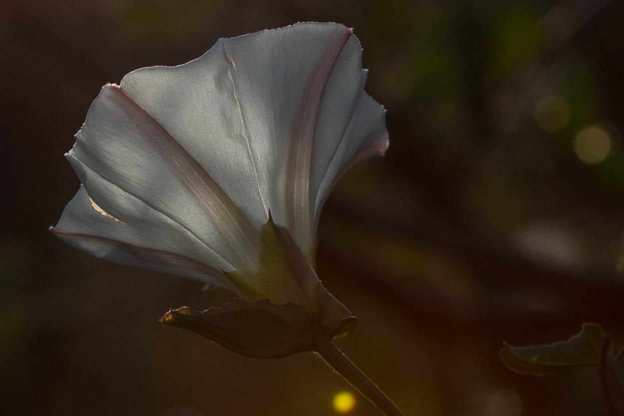 Image of Morning Glory - <em>Calystegia macrostegia</em>