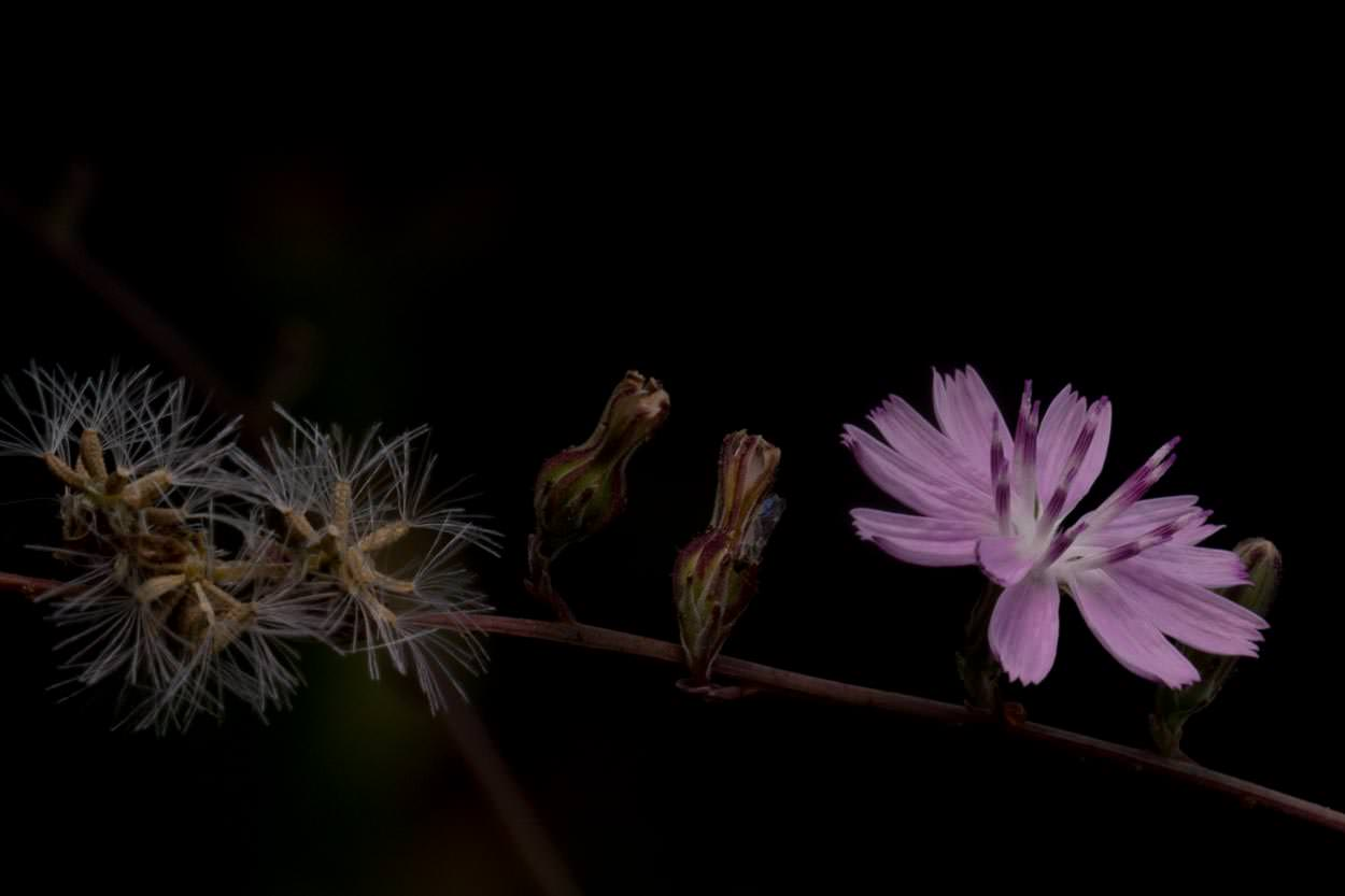 Image of San Diego Milk-aster - <em>Stephanomeria diegensis</em>