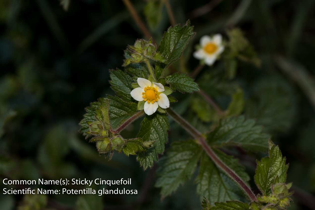 Image of Sticky Cinquefoil - <em>Drymocallis glandulosa</em>