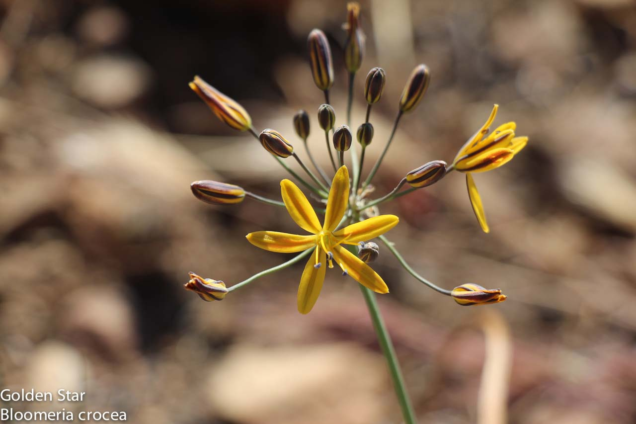 Image of Golden Star - <em>Bloomeria crocea</em>