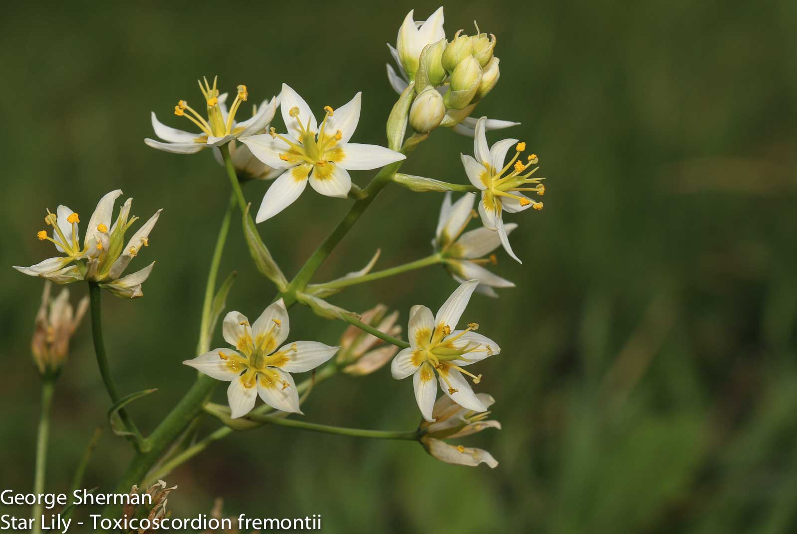 Image of Star Lily - <em>Toxicoscordion fremontii</em>