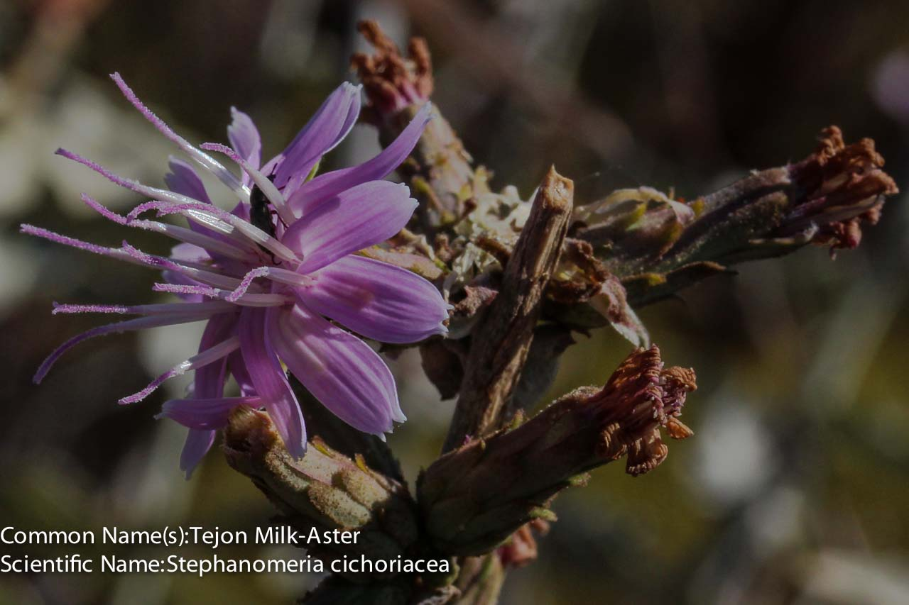 Image of Tejon Milk-Aster - <em>Stephanomeria cichoriacea</em>