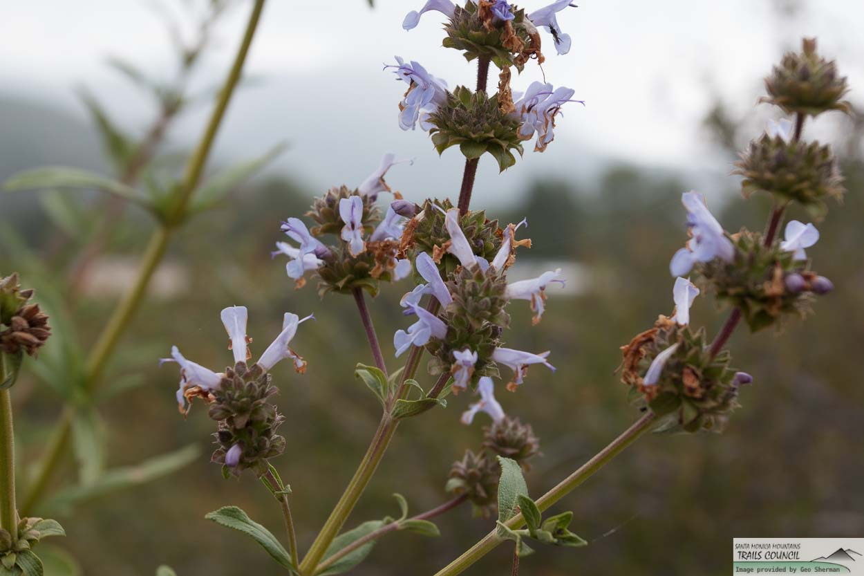 Image of Black Sage - <em>Salvia mellifera</em>