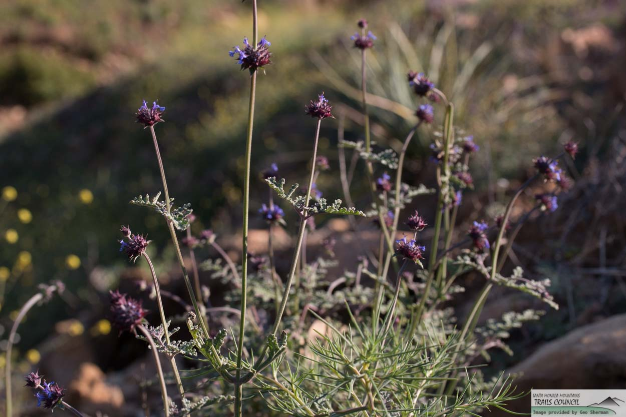 Image of Chia, Golden Chia - <em>Salvia columbariae</em>