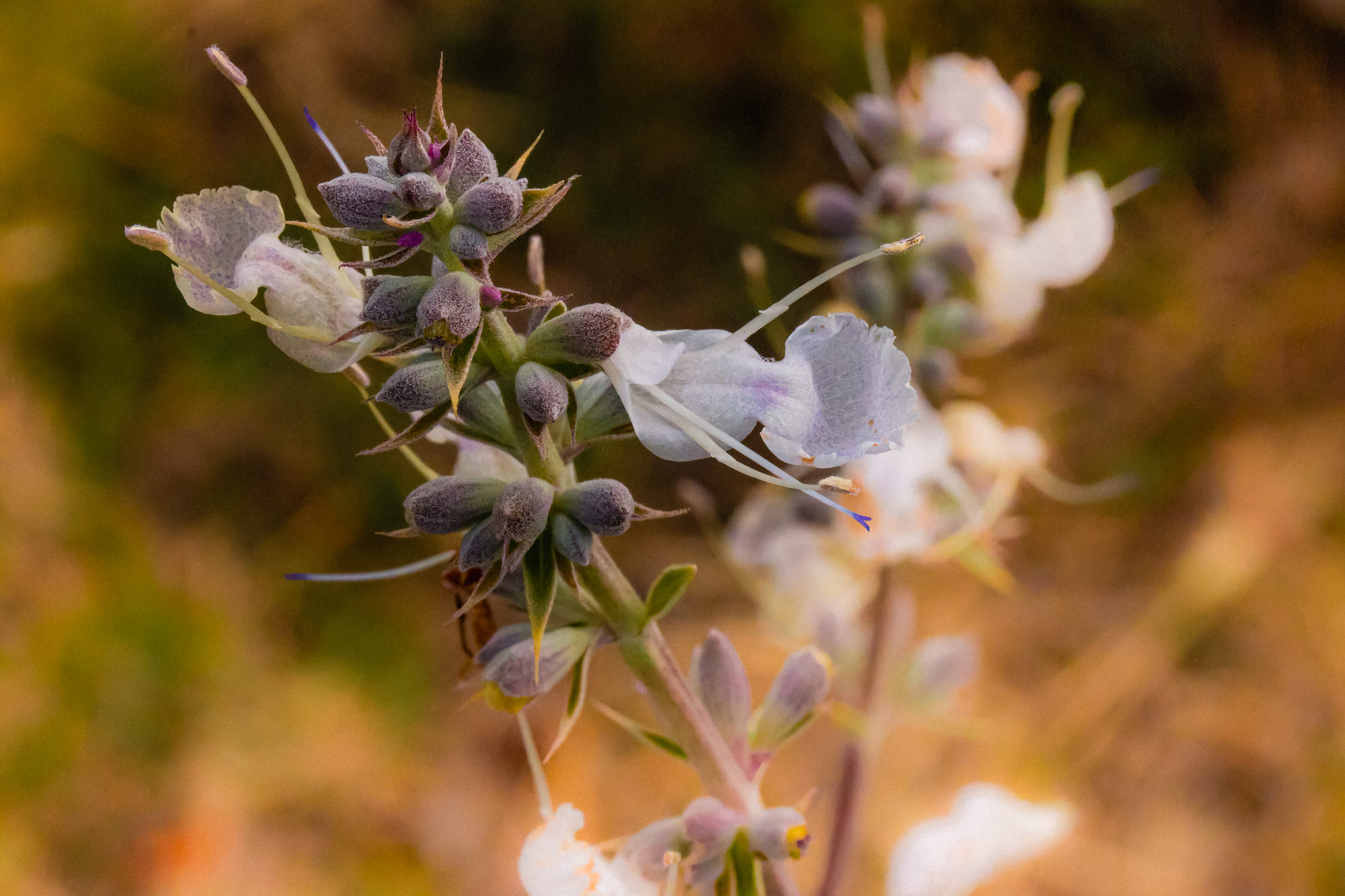 Image of White Sage - <em>Salvia apiana</em>