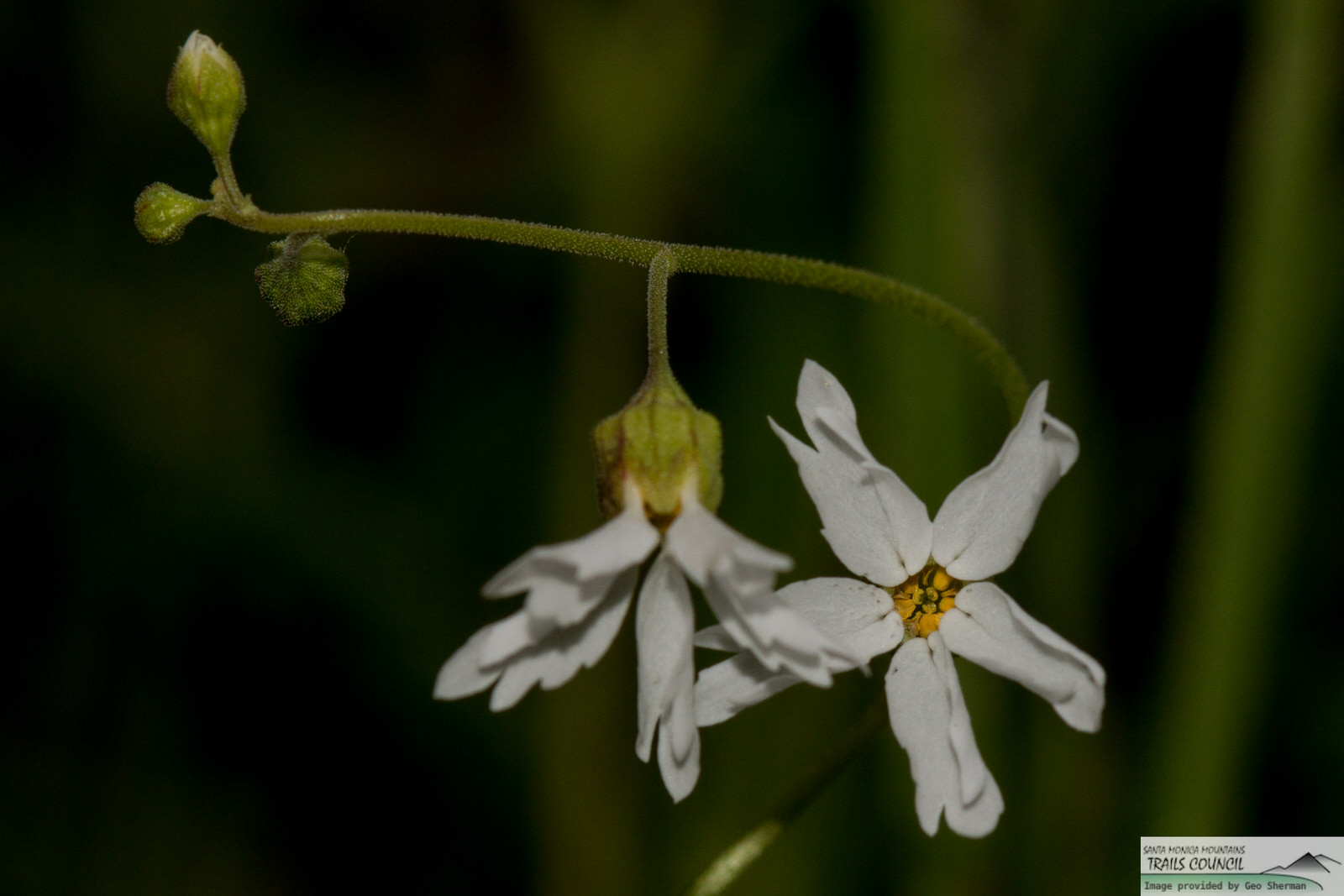 Image of Woodland Star - <em>Lithopragma affine</em>