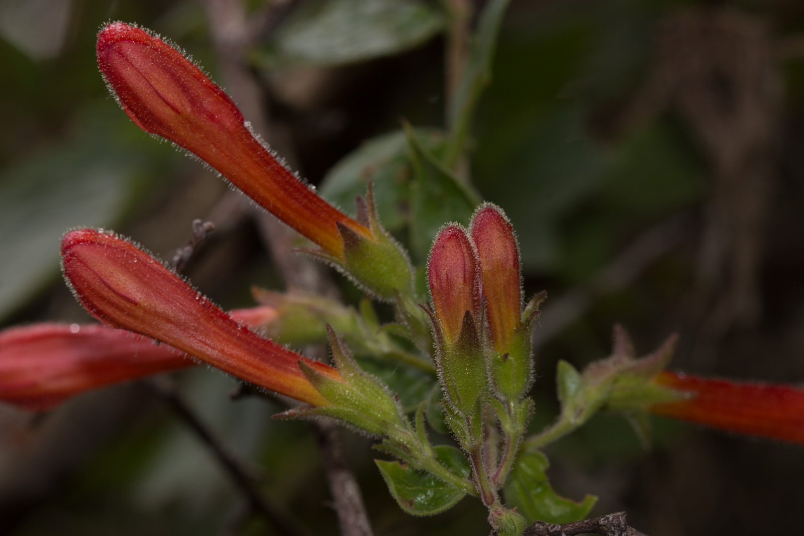 Image of Heart Leaved Penstemon - <em>Keckiella cordifolia</em>