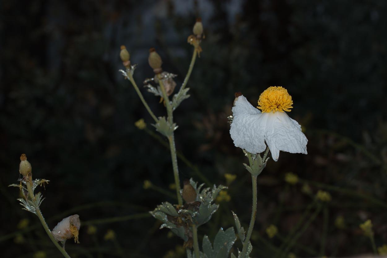 Plant Of The Month Matilija Poppy