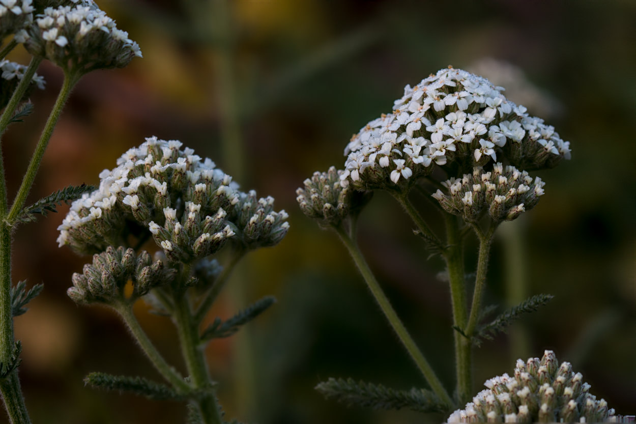 Image of Common Yarrow - <em>Achillea millefolium</em>