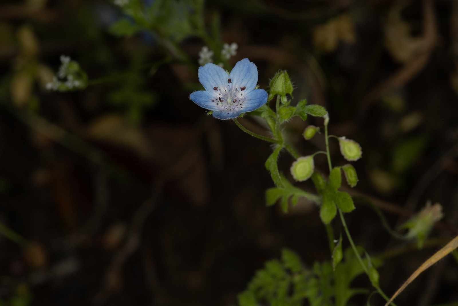 Image of Baby Blue Eyes - <em>Nemophila menziesii</em>