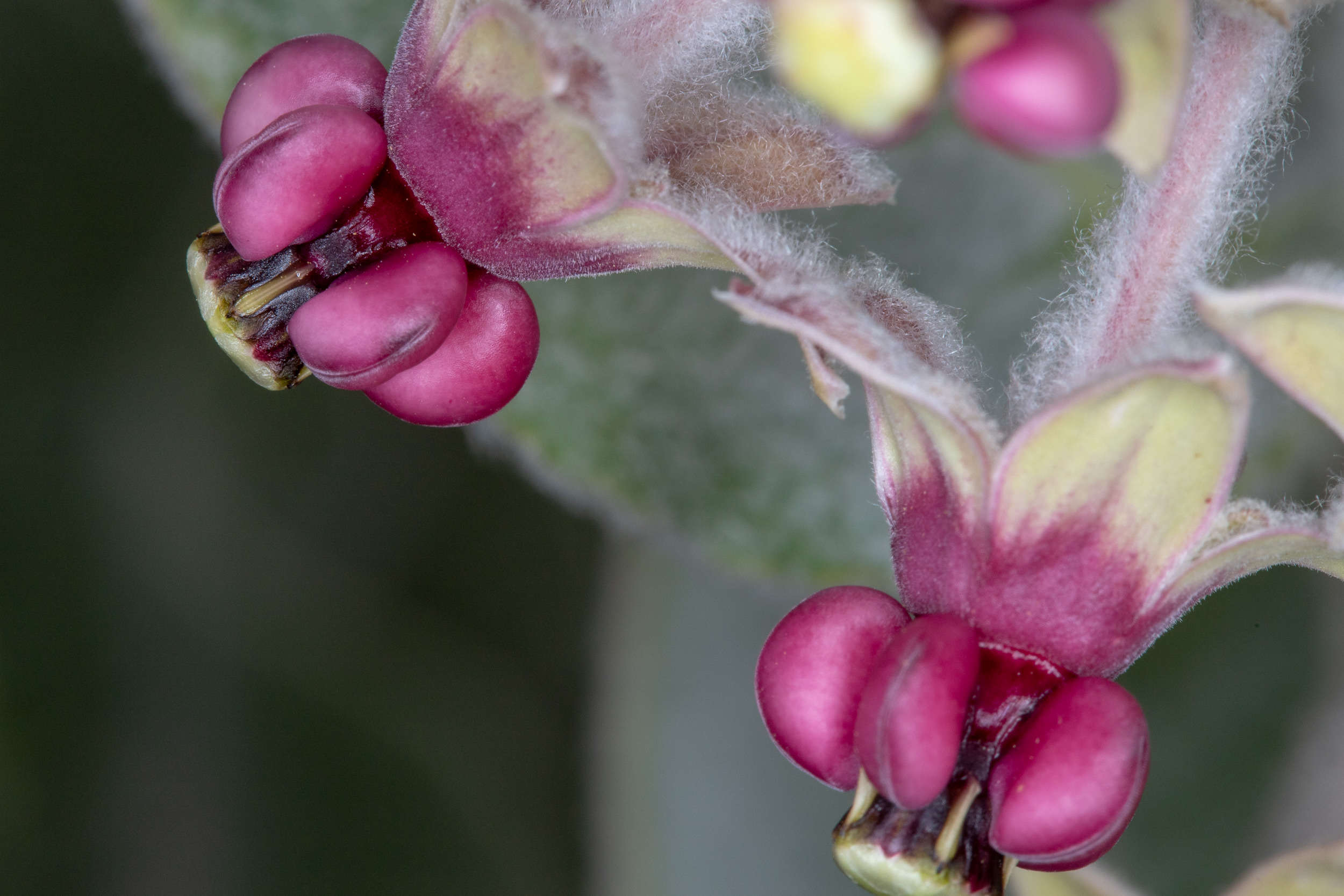 Image of California Milkweed - <em>Asclepias californica</em>