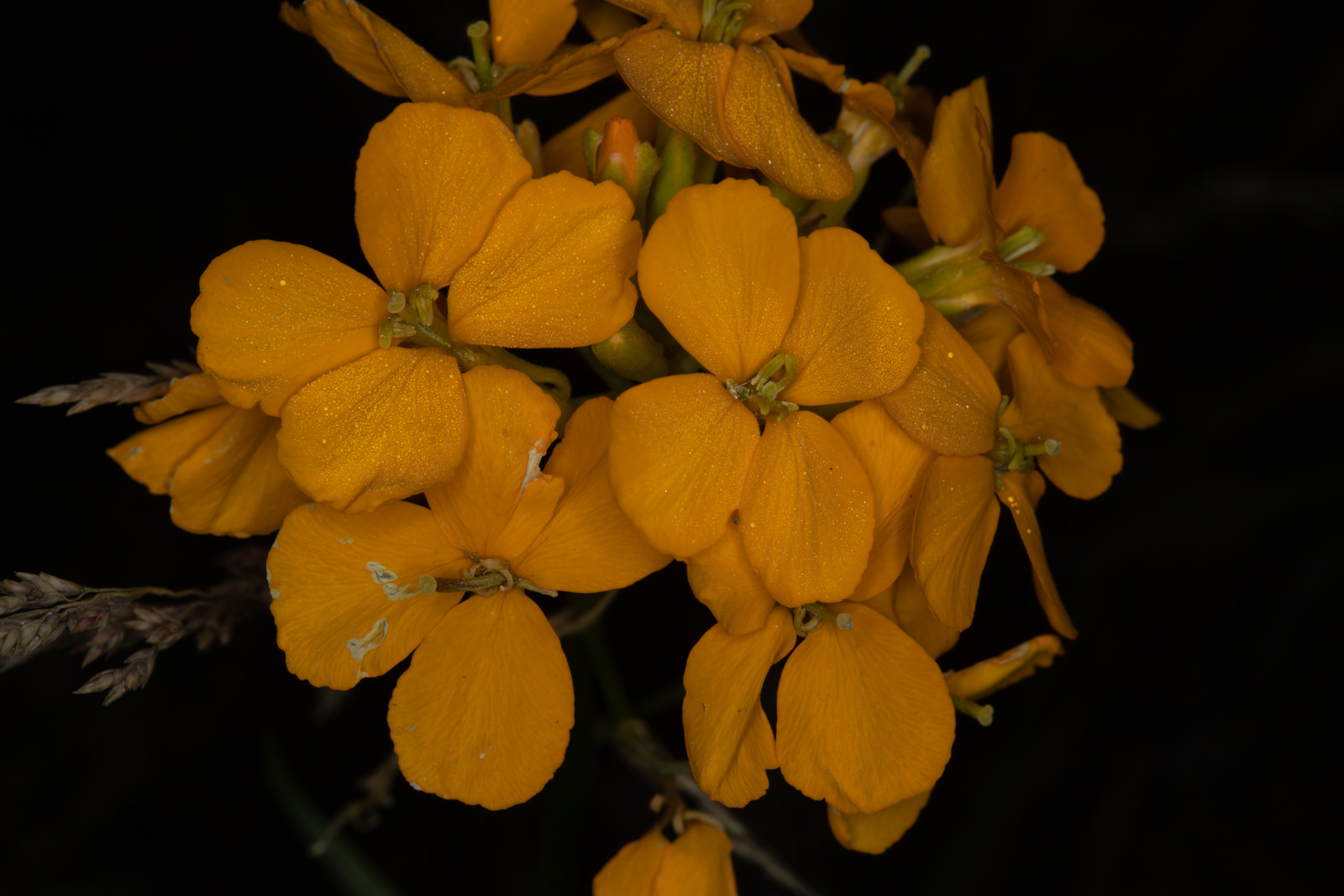 Image of Western Wallflower - <em>Erysimum capitatum</em>