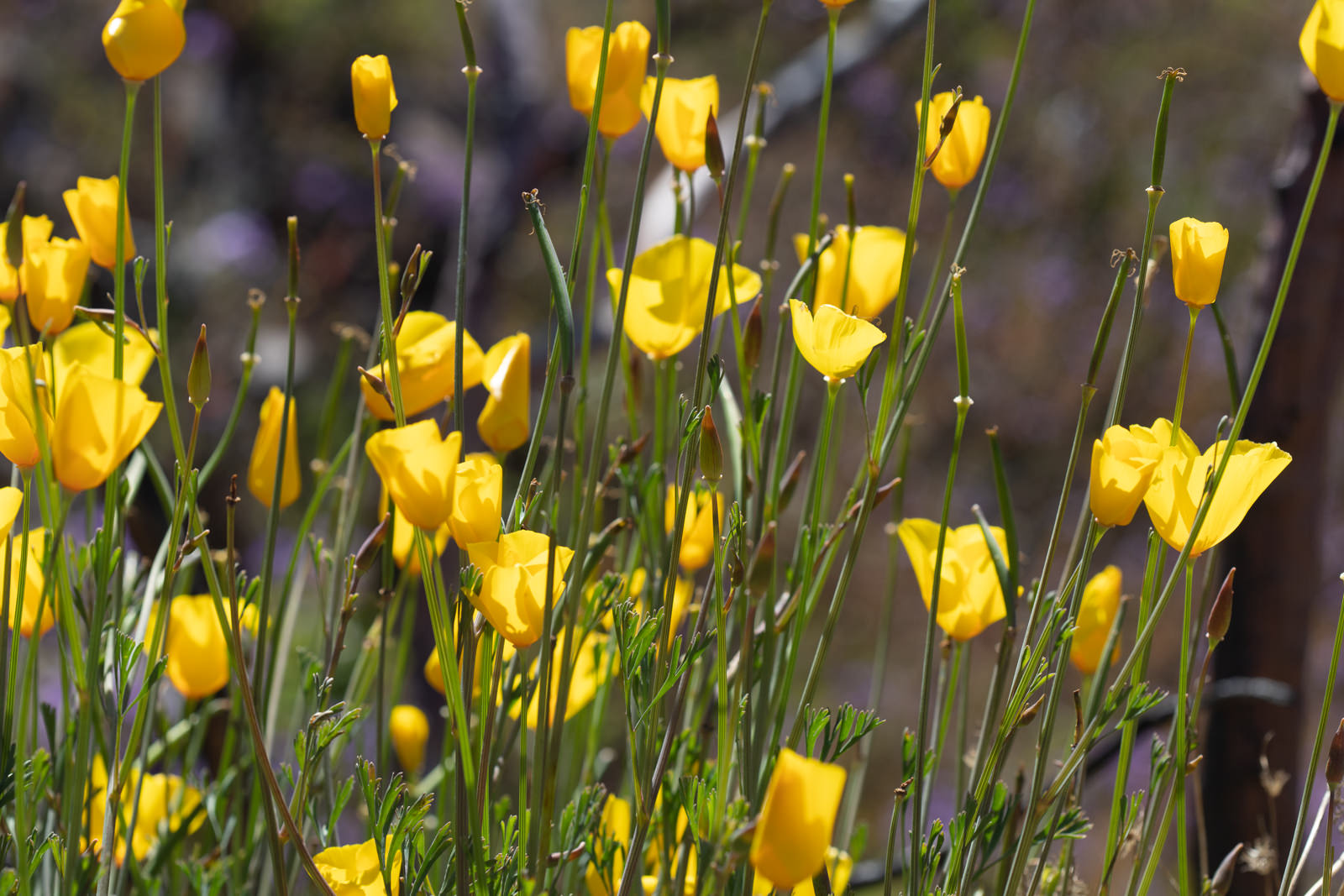 Image of Collarless Poppy - <em>Eschscholzia caespitosa</em>