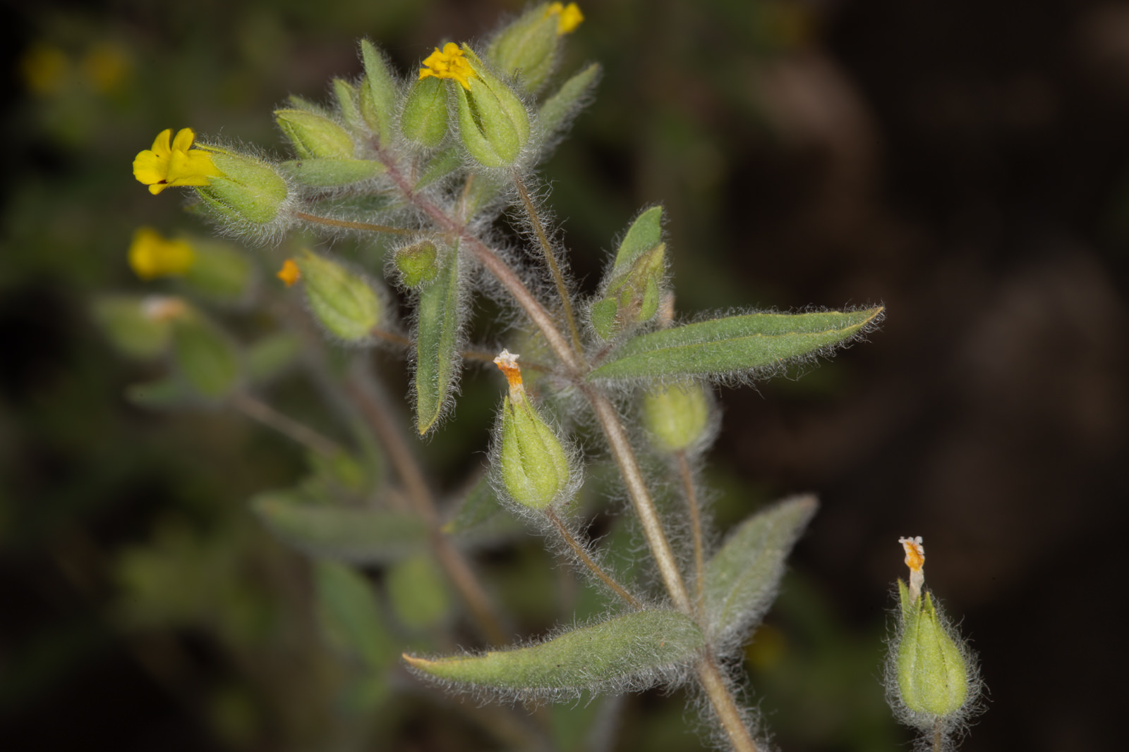 Image of Downy Monkey Flower - <em>Erythranthe pilosus</em>