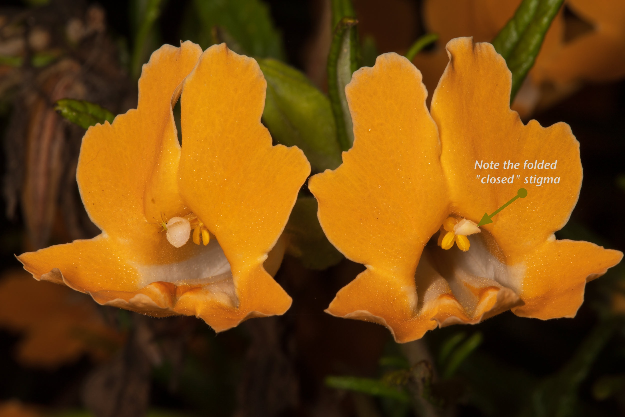 Image of Sticky Monkey Flower - <em>Diplacus aurantiacus</em>
