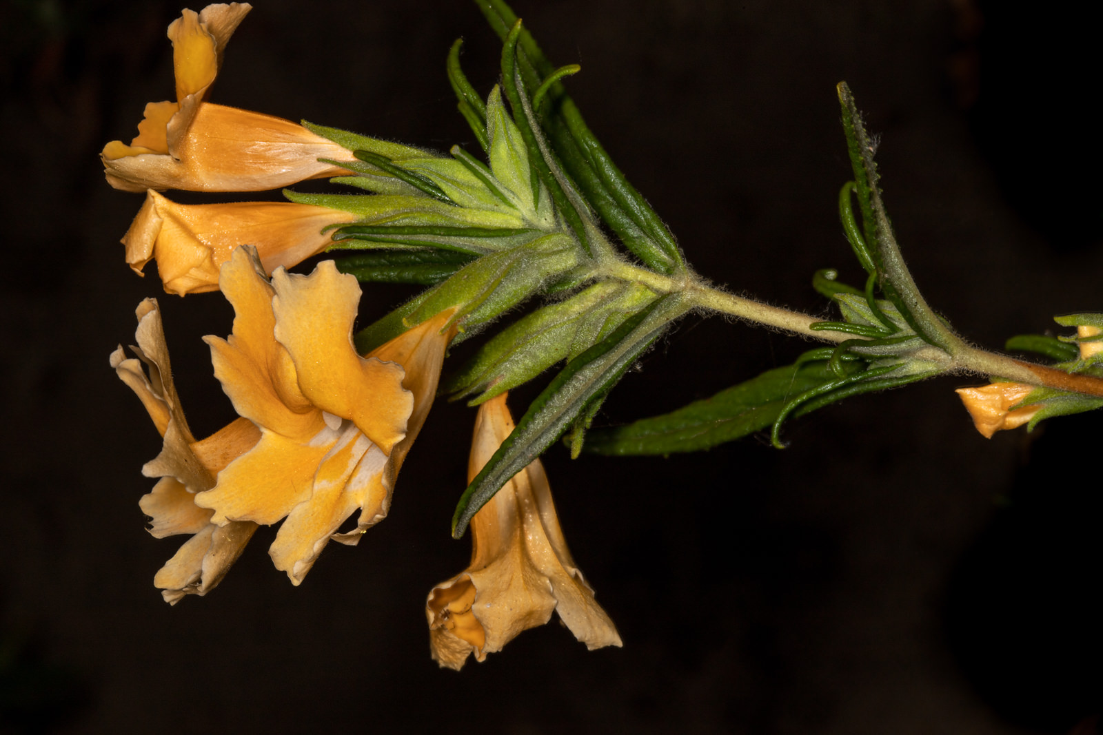 Image of Sticky Monkey Flower - <em>Diplacus longiflorus</em>