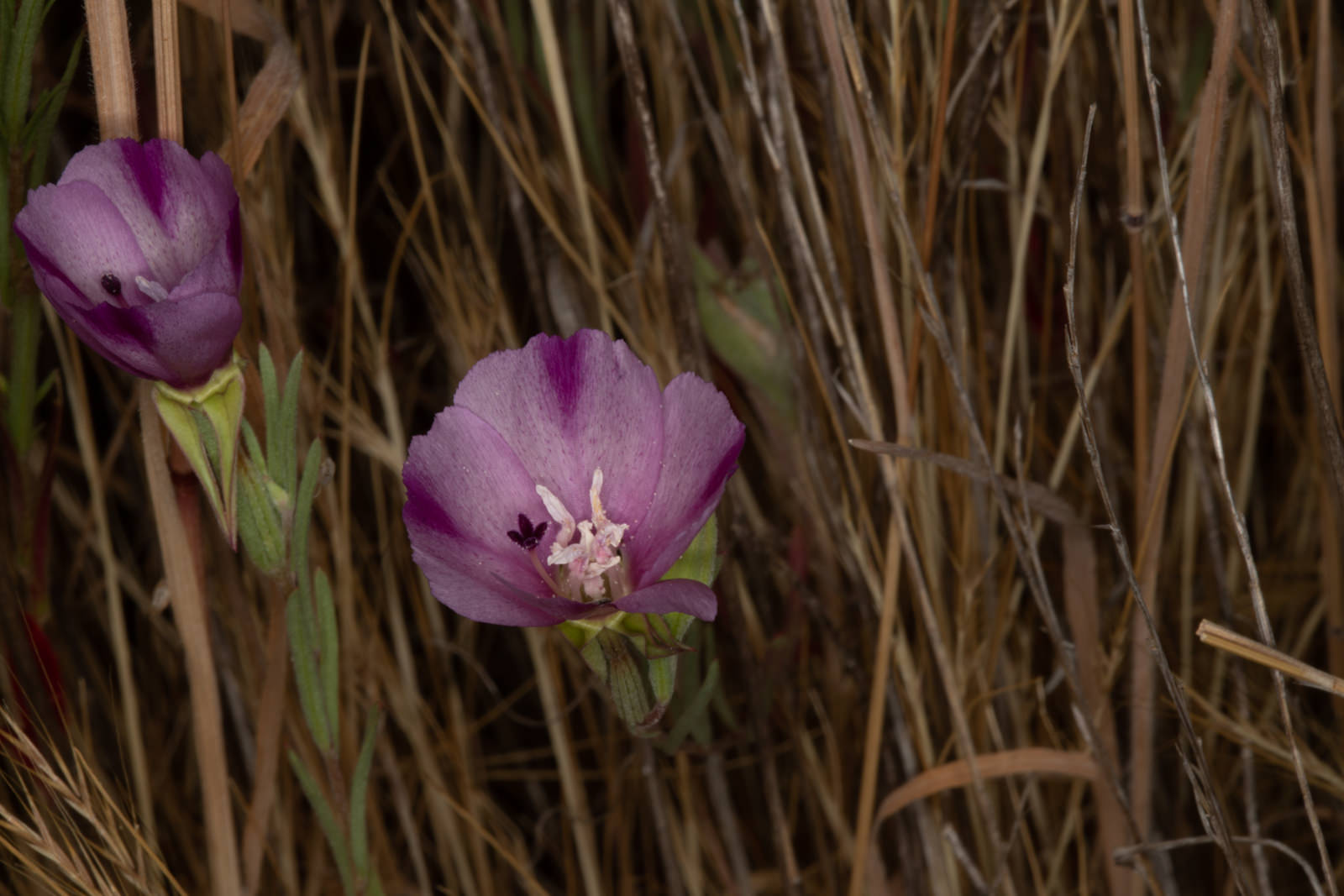 Image of Wine Cup Clarkia - <em>Clarkia purpurea</em>
