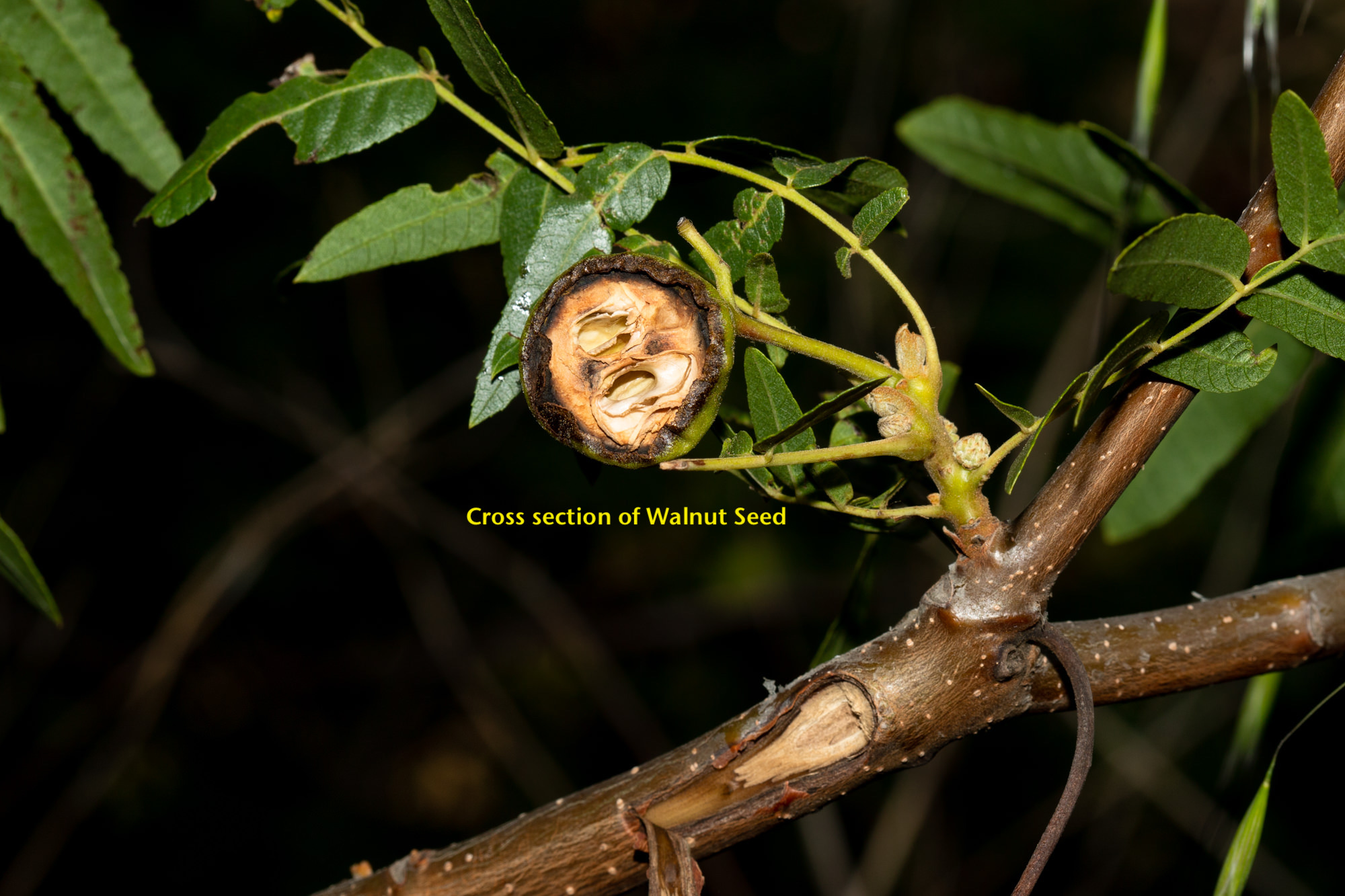 Image of California Walnut - <em>Juglans californica</em>