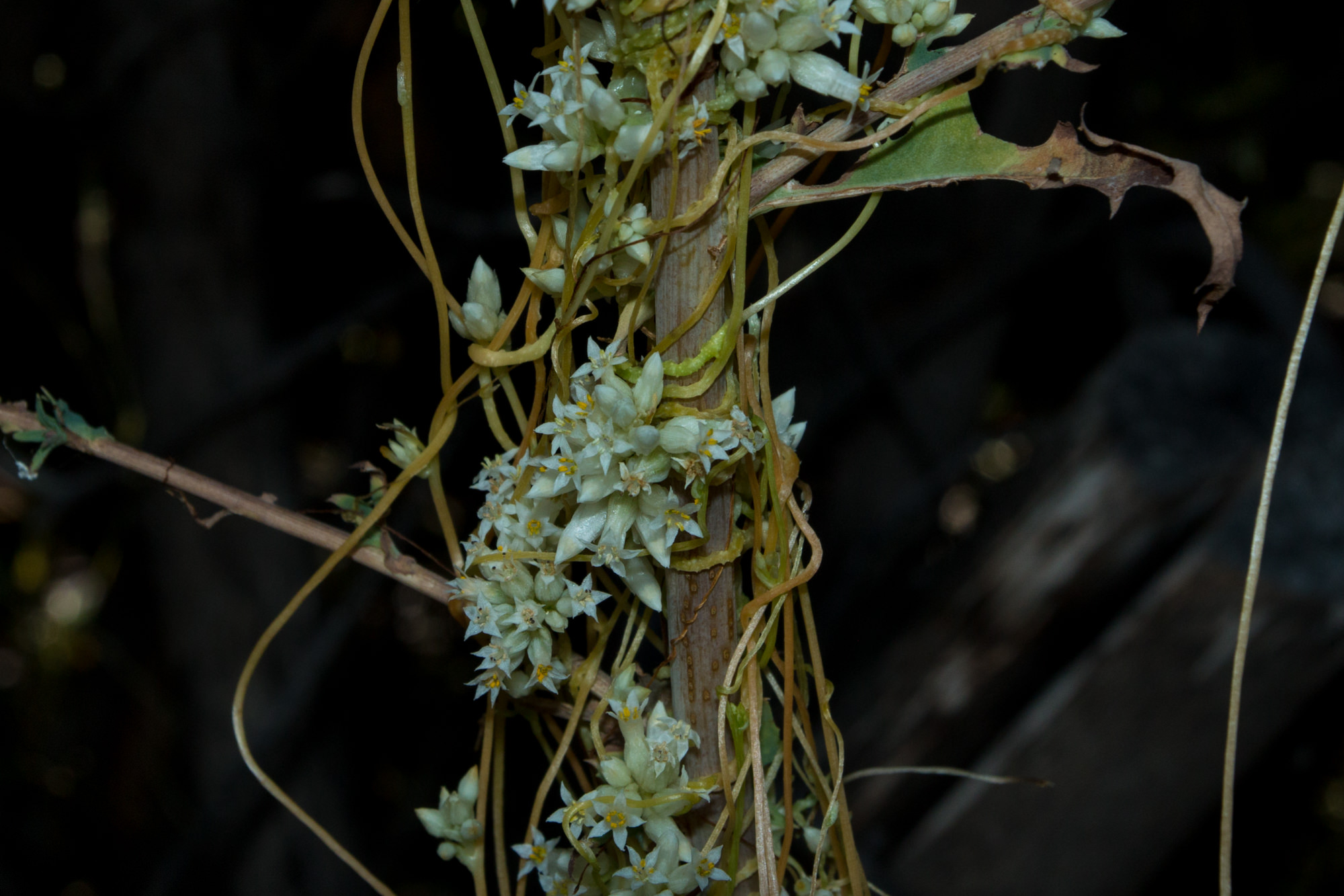 Image of Canyon Dodder - <em>Cuscuta subinclusa</em>