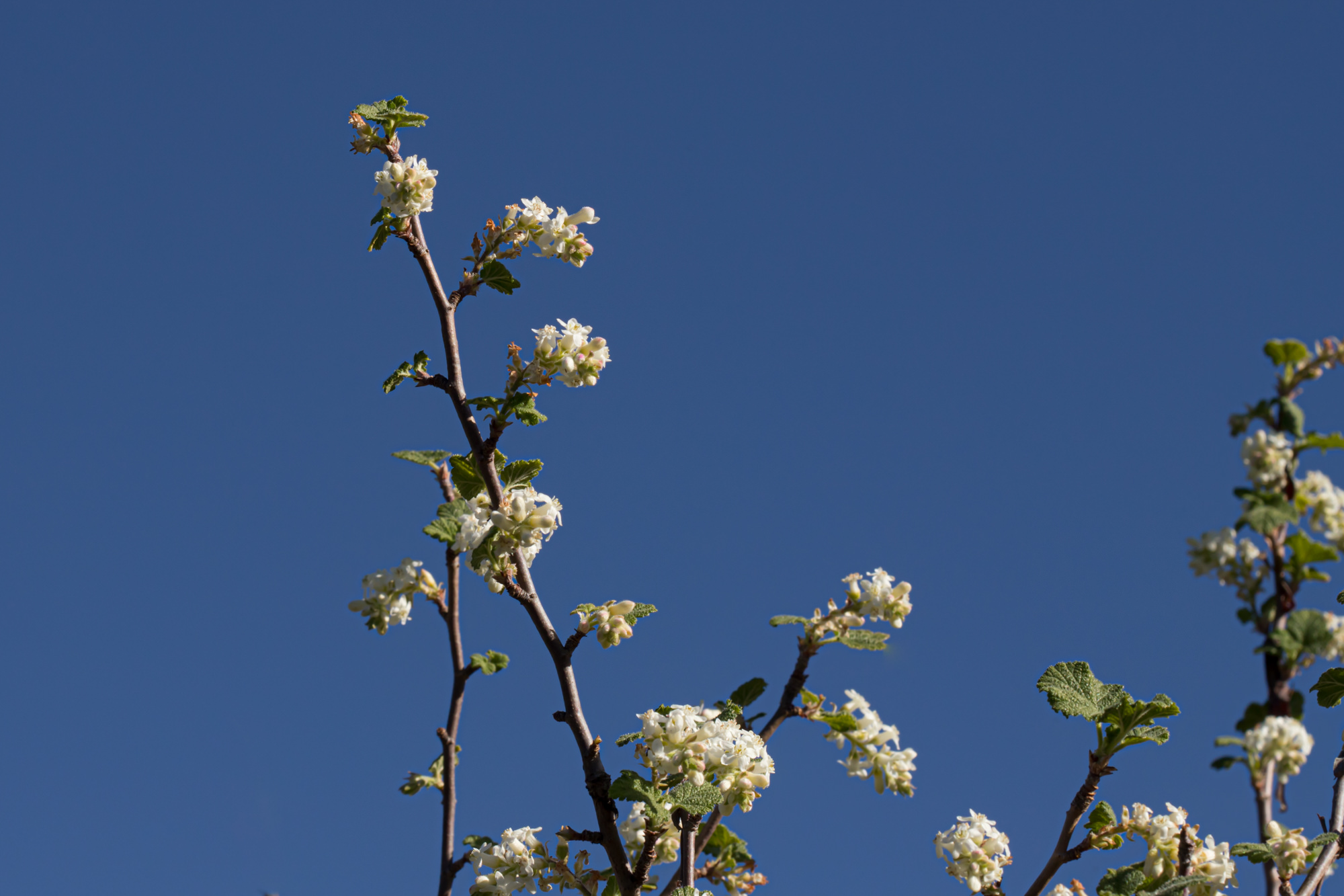Image of White Chaparral Currant - <em>Ribes indecorum</em>
